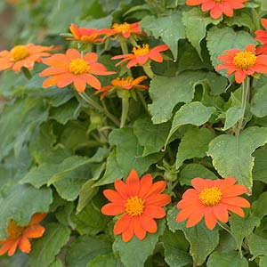 Tithonia (Tithonia rotundifolia)