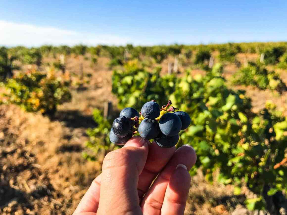 Picking Grapes in the Southern Rhône Valley