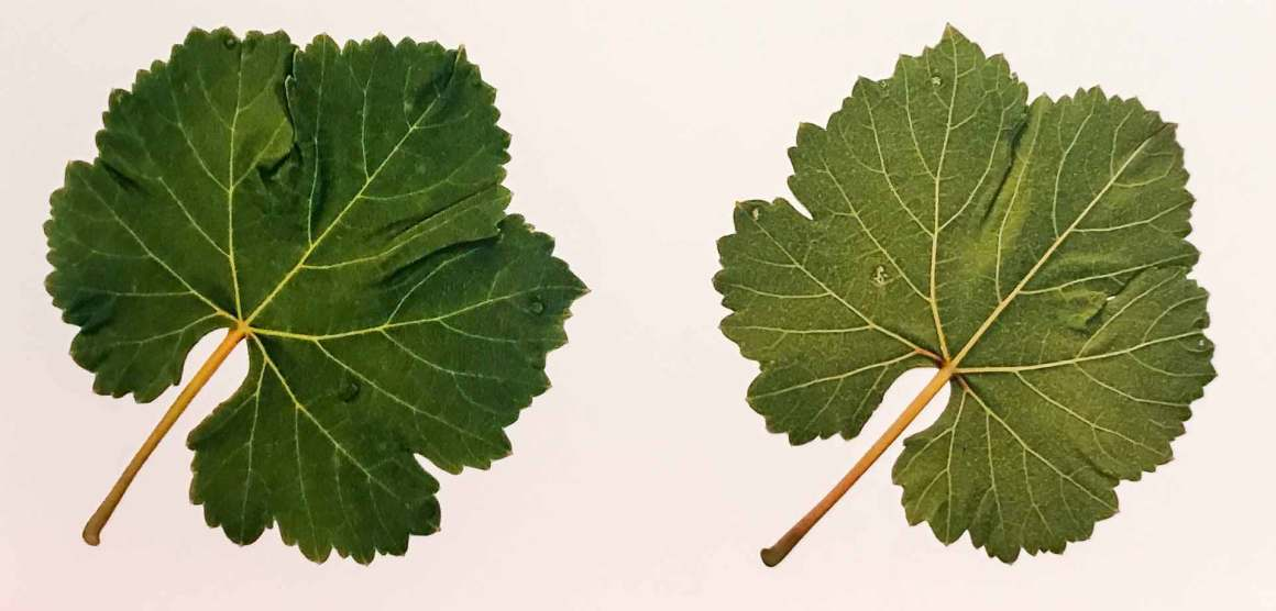 Vernaccia Vine Leaves