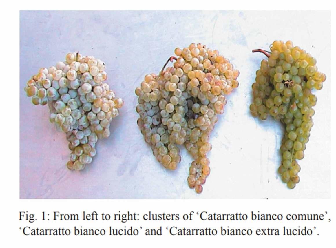 Catarratto Clusters