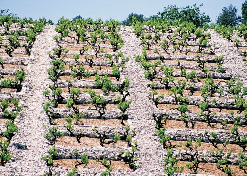 Babić in Bucavac vineyard