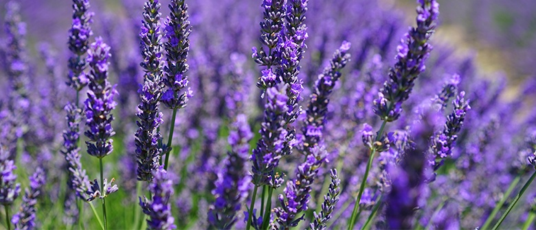 How To Grow Lavender Palmers Garden Centre