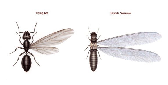 Difference Between Flying Ants And Termites