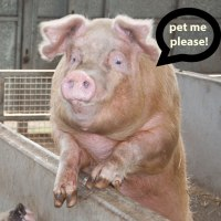 Please, pet my pig...social media spammers.