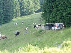 Kühe, überall Kühe