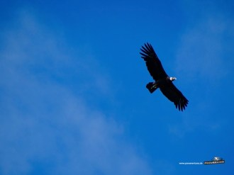 Kondor über Perito Moreno
