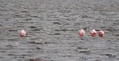 Flamingos von hinten