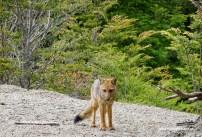 Ein kleiner Fuchs, überhaupt nicht scheu.