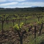 Vineyards Mont Ventoux Provence