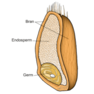 A grain of wheat showing the endosperm and germ