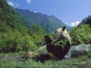 Un pandaranol dans la forêt en Himalaya
