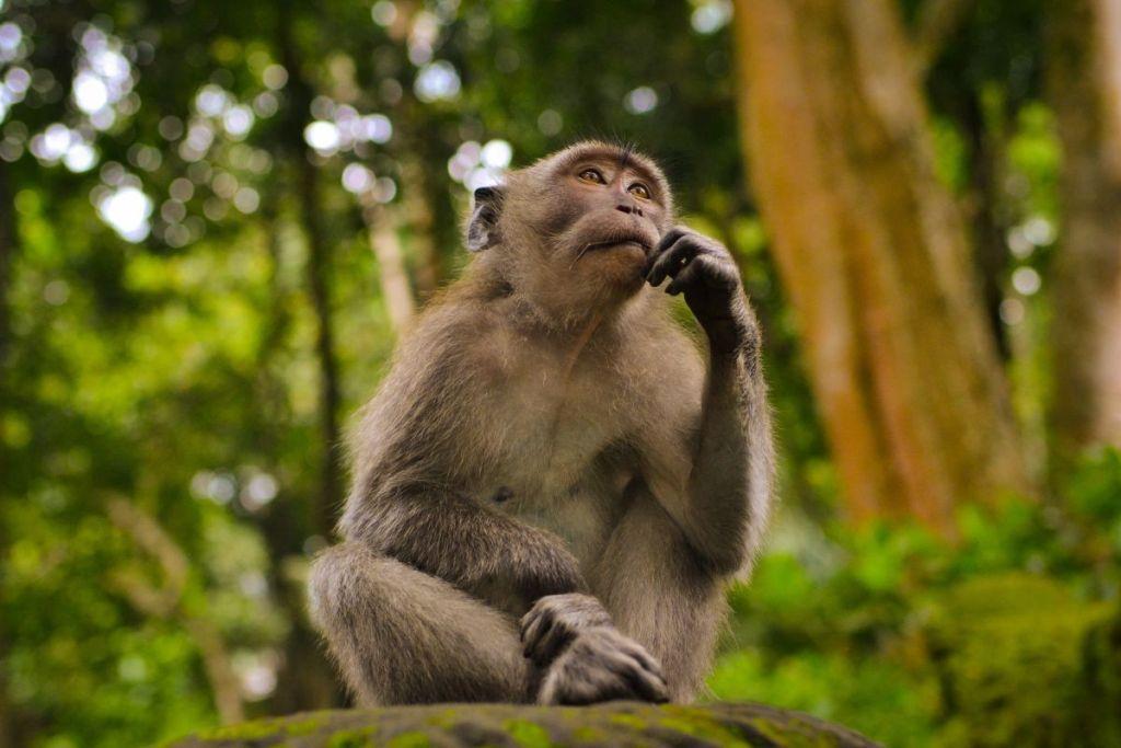 scimmia che pensa