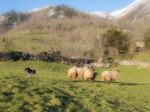 pastoreo en Cangas de Onís