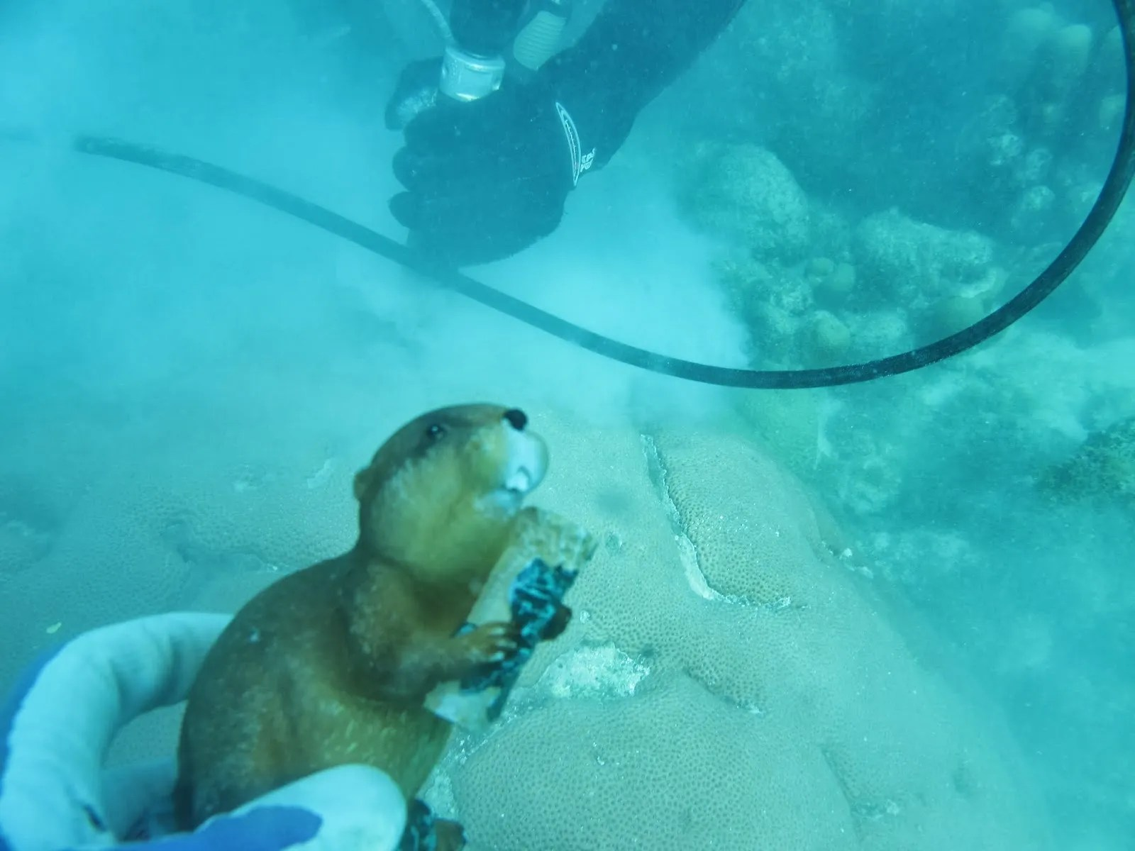 Archibald the Beaver dives with the Cohen Lab   Woods Hole Oceanographic Institute