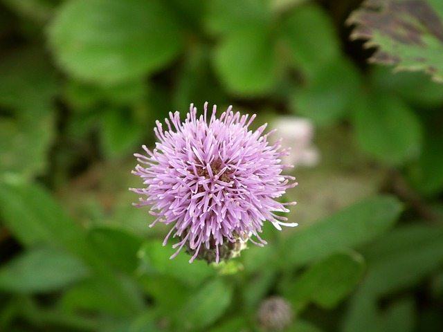 Bunga Burdock yang cantik