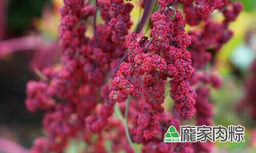 112-02台灣紅藜皆為紅色外皮,所以被稱為紅藜