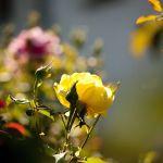 Les roses de Huguette…