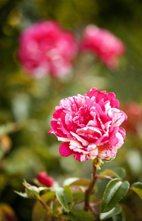 Les roses de Huguette Brard 5