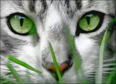 katt grona ogon