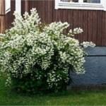 10 doftande träd, buskar och perenner