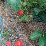 Skydda jordgubbslandet från skator