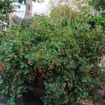 Vill du ha en tomatplanta nästa år som ger hur många tomater som helst?