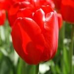 Tulpaner som kommer år efter år