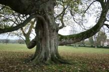 Heritage Tree in Godinton Park