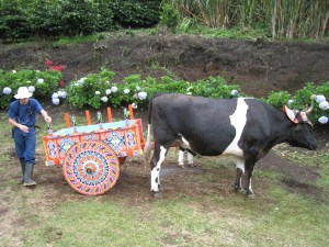 The_cow_pushing_the_decorated_cart