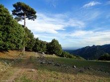 Pino laricio junto a un hermoso prado. Sierra Nevada al fondo