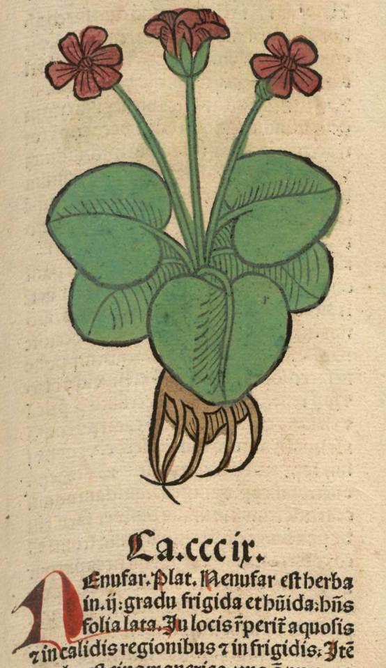 Nenufar. Meydenbach, Ortus Sanitatis (1491).
