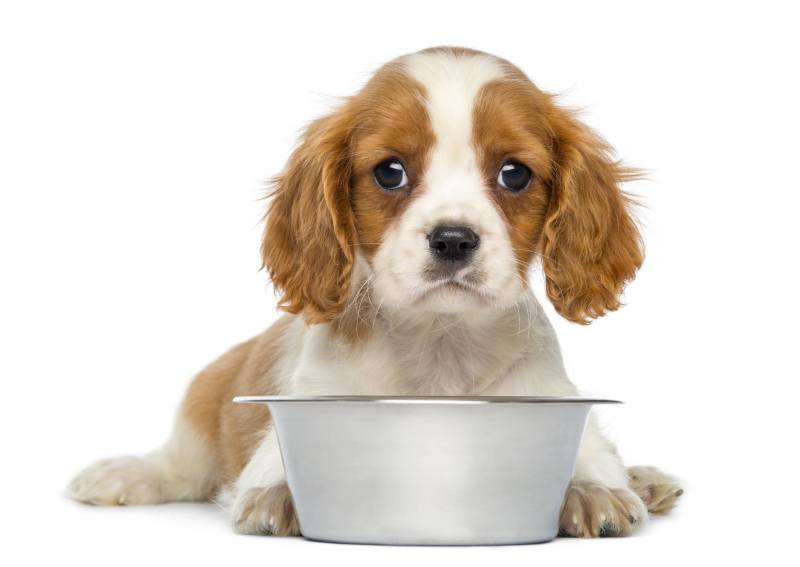 Cavalier King Charles Puppy lying in front of an empty metallic dog bowl, 2 months old, isolated on white