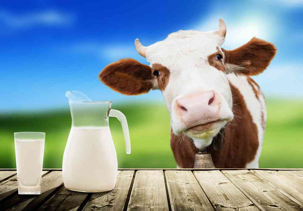 """Il """"sanissimo"""" latte vaccino"""