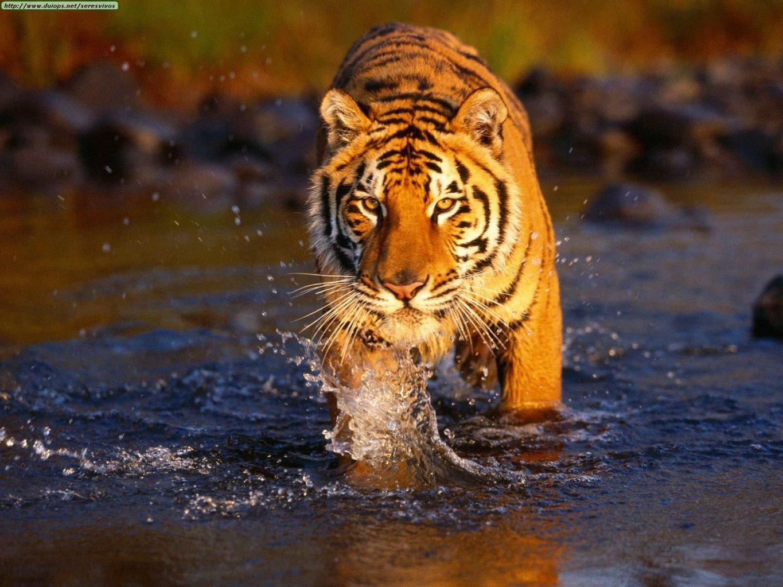 Papel de parede Tigre de bengala
