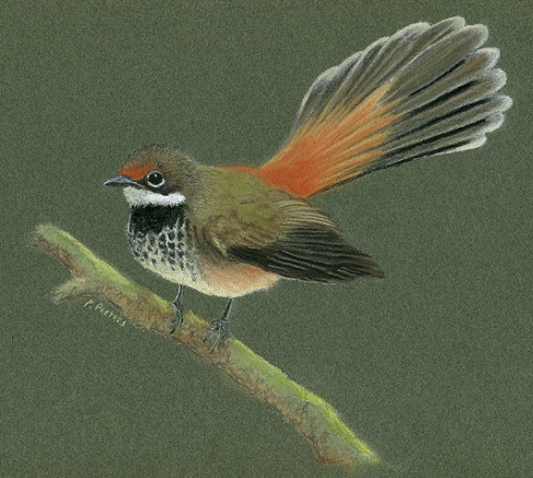 Rufous fantail by Paula Peeters. Pastel on paper.