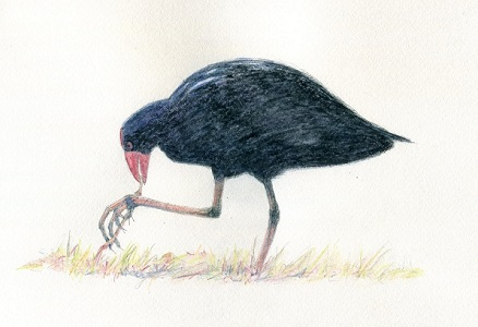 'Purple swamphen eating lawn grass' by Paula Peeters. Watercolour pencil on paper.