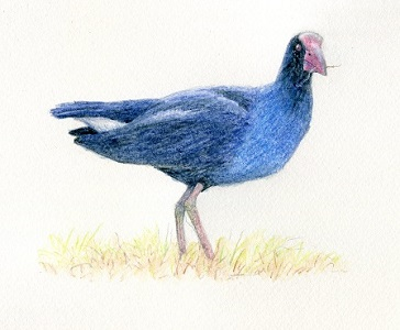 'Purple swamphen standing' by Paula Peeters. Watercolour pencil on paper.