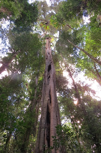 The trunk of a strangler fig is created by the fusion (inosculation) of it aerial roots