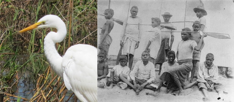 The kink in a heron's neck increases the speed and accuracy of its strike. The spear-thrower (woomera) of indigenous Australians appears to do the same thing. Coincidence or design? Image on right is titled: 'Aborigines on the Batavia River, demonstrating the use of the Woomera, Mapoon, 1904'; taken by Hermann Klaatsch and courtesy of the State Library of Queensland.