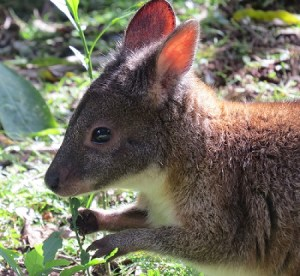 The red-necked pademelon, a small wallaby that dwells on the rainforest edges of eastern Australia. The Moreton bay fig is possibly the favorite food of the closely-related red-legged pademelon.