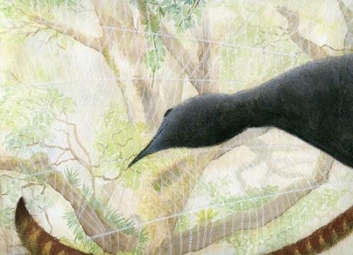 Lyrebird in rainforest