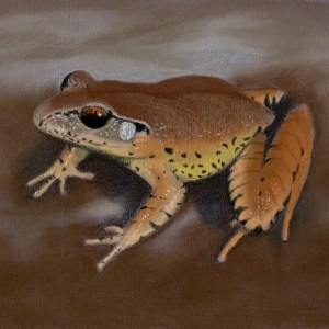 Fleays barred frog small