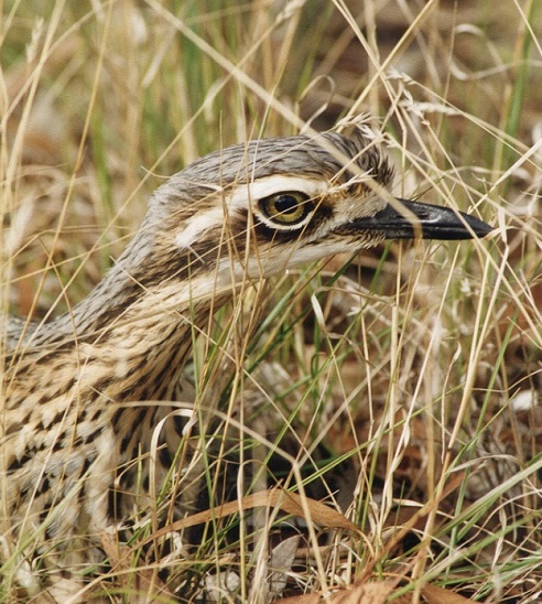 Rewilding Weeloo, the enigmatic bush stone-curlew