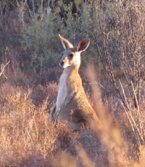 Eastern grey kangaroo.