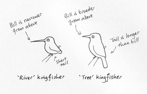 types of kingfishers001