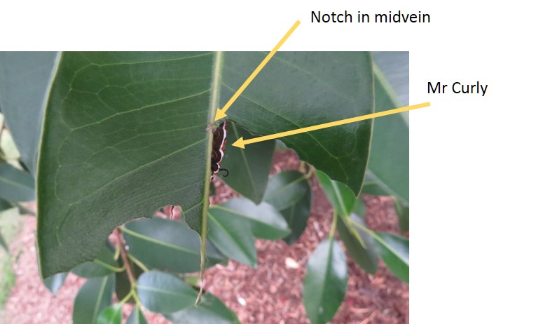 notch in figleaf