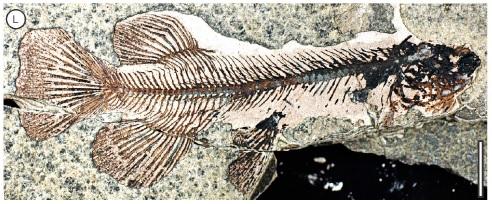 Galaxia fish fossil