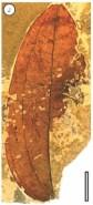 Ripogonum fossil leaf