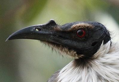 noisy_friarbird_closeup-by-mdecool-via-wikipedia