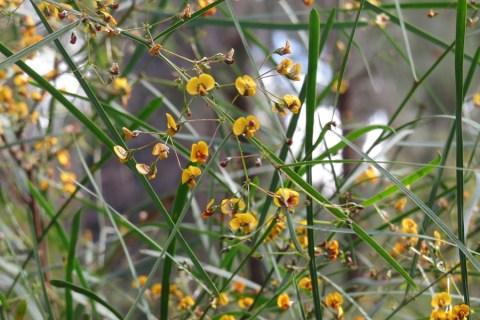 pea-flower-2